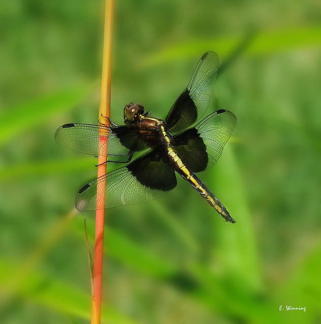 Female Widow Skimmer 7655