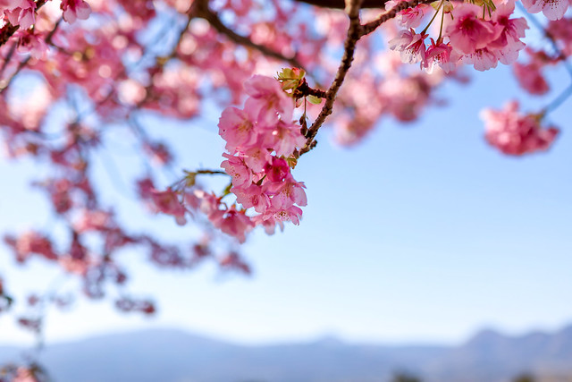 Early blooming cherry blossoms :河津桜