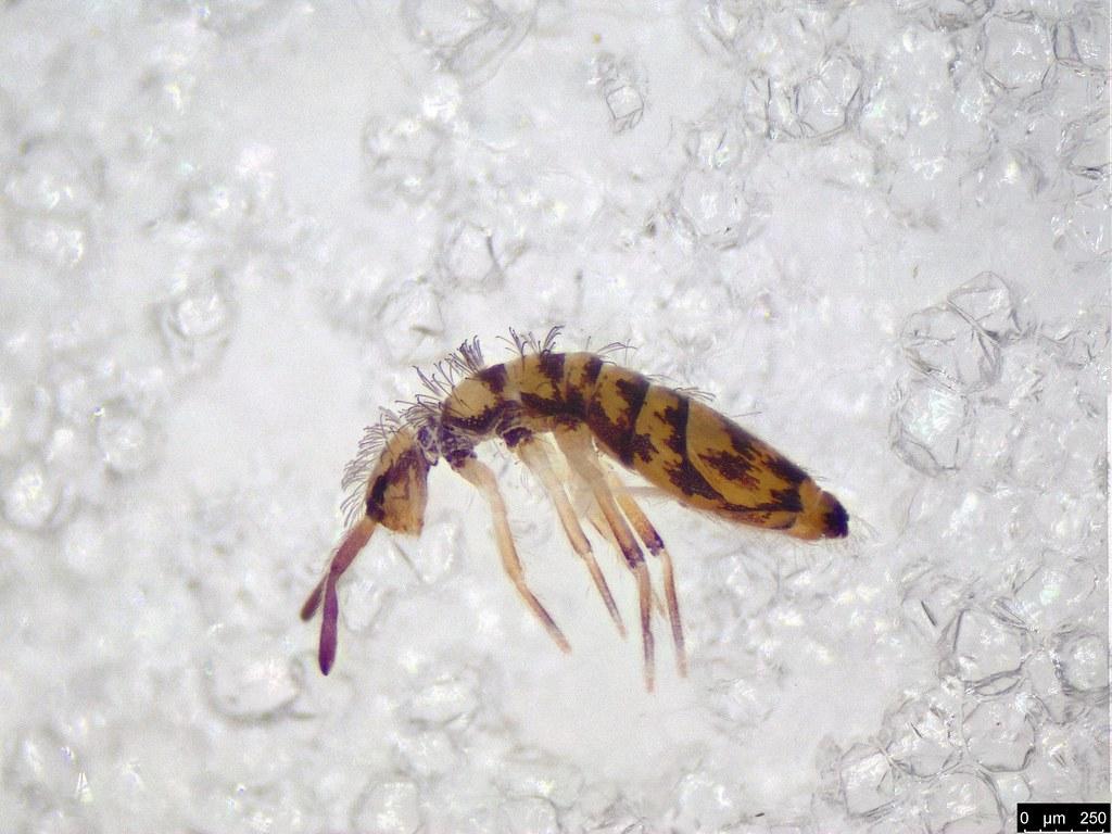 3 - Entomobrya multifasciata Tullberg, 1871