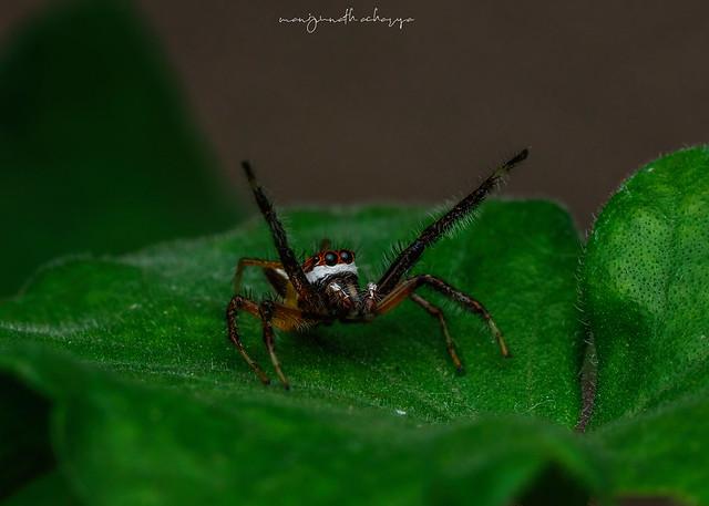 Telemonia jumping spider (male)