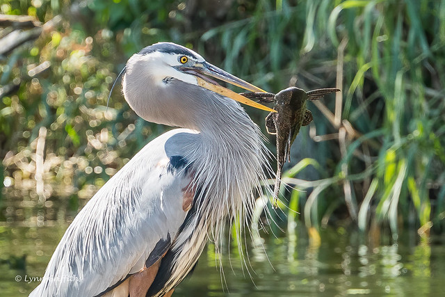 Great Blue Heron - Lunch aquired 502_5003.jpg