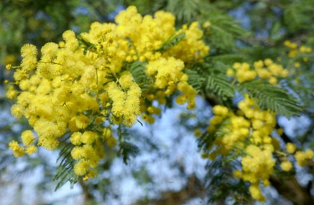 Au jardin, mimosa des fleuristes (Acacia dealbata) , Bosdarros, Béarn, Pyrénées Atlantiques, Nouvelle-Aquitaine, France.