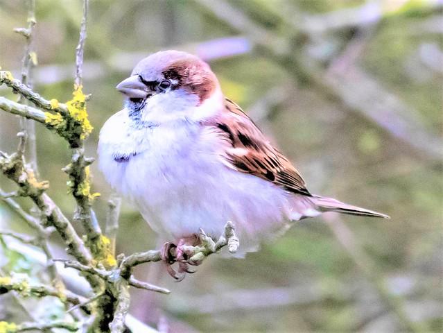 House Sparrow, Passer domesticus, Holland.