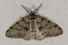 Small Phigalia Moth