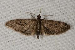 Eupithecia sp. Moth
