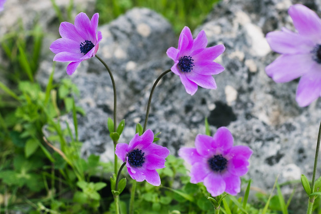 Lefkada flowers in nature (1)