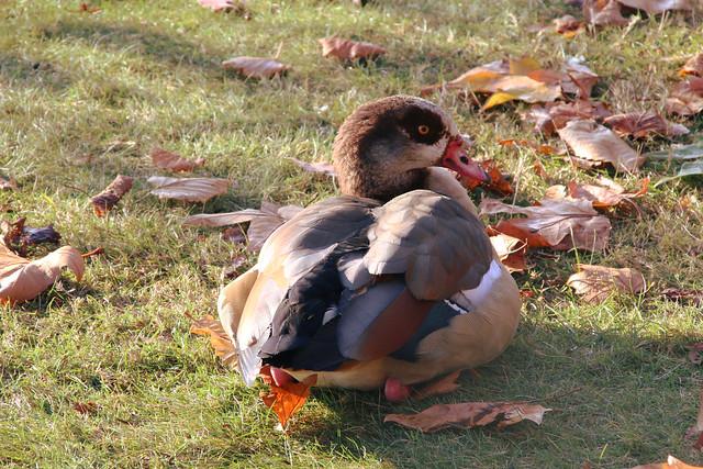 Alopochen Aegyptiaca - Egyptian Goose.