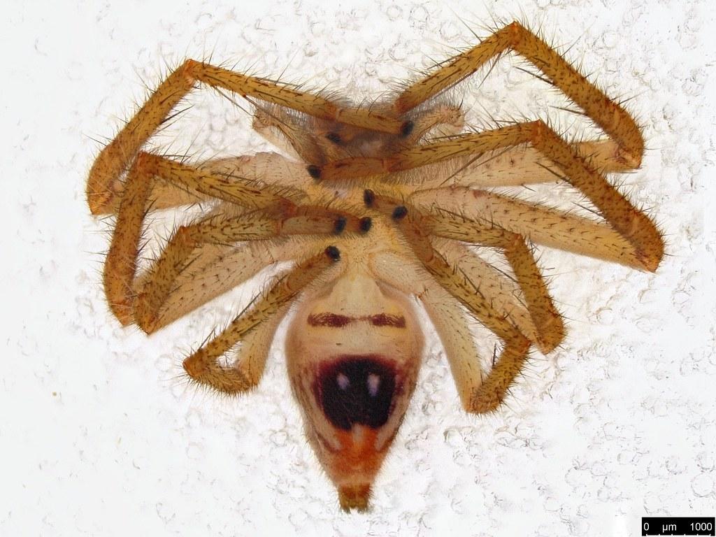 1b - Neosparassus diana (L. Koch, 1875)