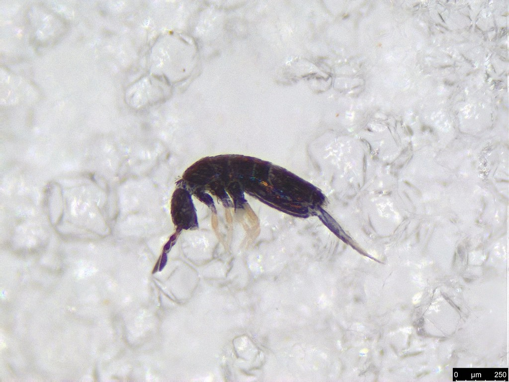 2 - Lepidocyrtus sp.