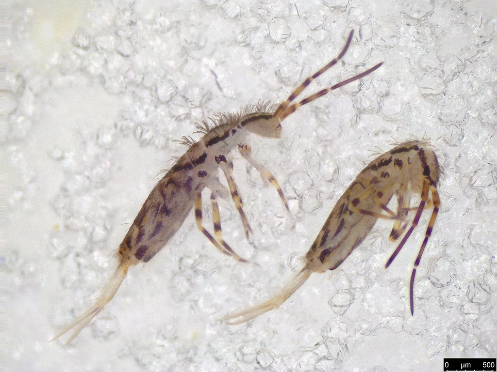4 - Lepidosira near australica sp.
