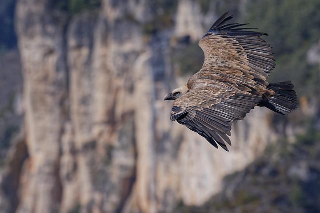 Vautour fauve - Gyps fulvus - Griffon Vulture - Gänsegeier - Buitre Leonado - Grifone