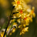 brilliant daffodils