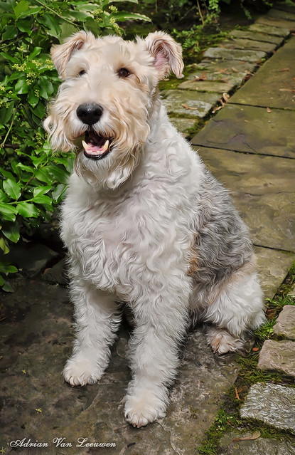 Welsh Terrier Dog