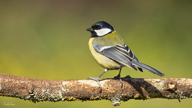 Yellow mood for the black capped chickadee