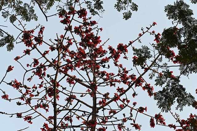 The Spring Has Arrived  ।  Bombay Ceiva  ।  Silk-Cotton Flower ।  বসন্ত এসে গেছে  ।