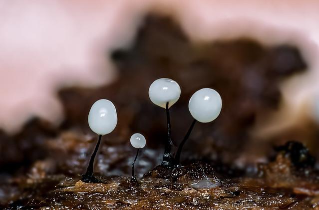 Wollkugelschleimpilz (Comatricha nigra)
