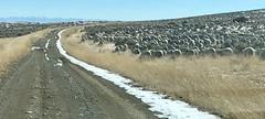 Sheep. Seen In Montana