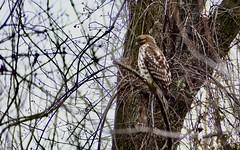 03-01-2021 Immature Re-shouldered Hawk.