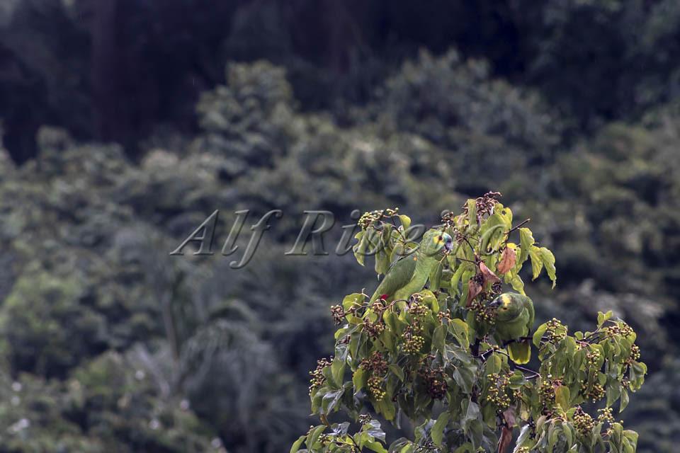 Alf Ribeiro 0337-181