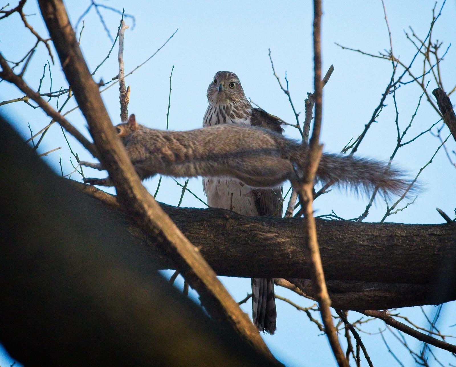 Cooper's hawk and a squirrel