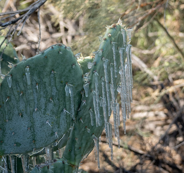 Icicles on Prickly Pear