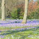 Crocus at Ashton Park, Preston