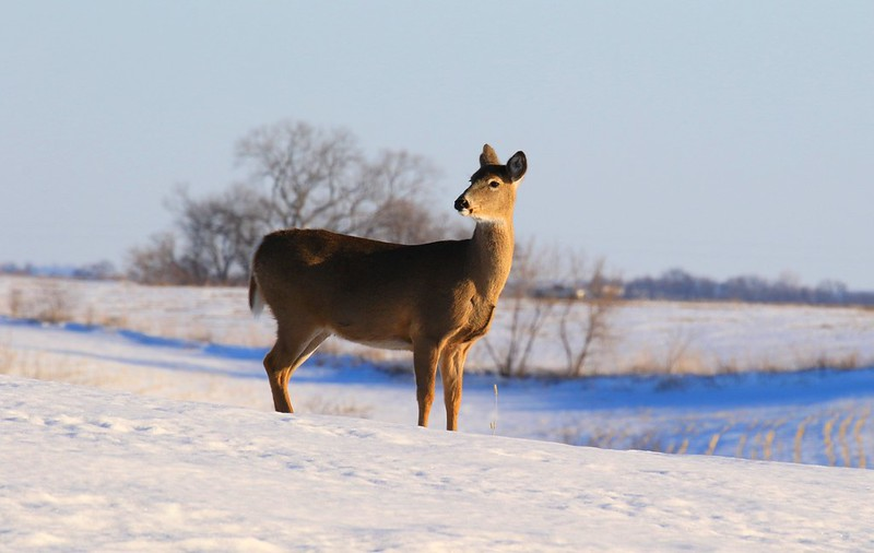 white-tailed deer at Lake Meyer Park IA 653A7103