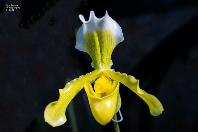 Orchid White. & Yelllow 2
