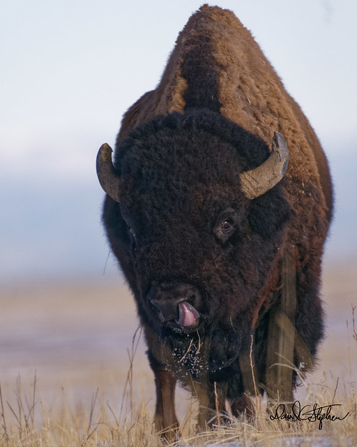 Big Bison Bull (Explored)
