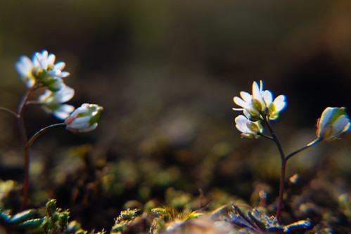 Common Whitlowgrass
