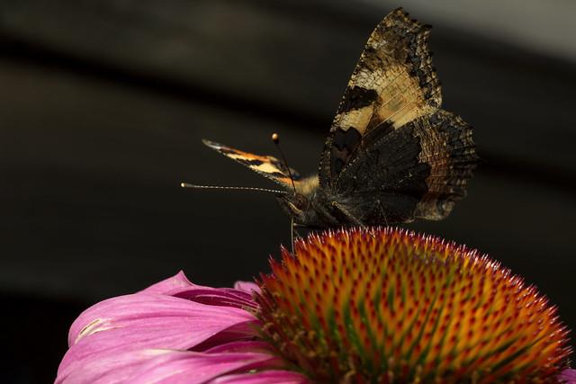 Butterfly Magnet, Pt. 4 - _TNY_7110