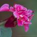 PInk Clarkia unguiculata, 5.9.17