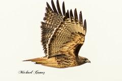 Beauty hawk