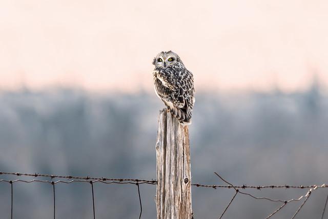 Short-Eared Owl 04