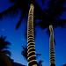 Palms Aglow