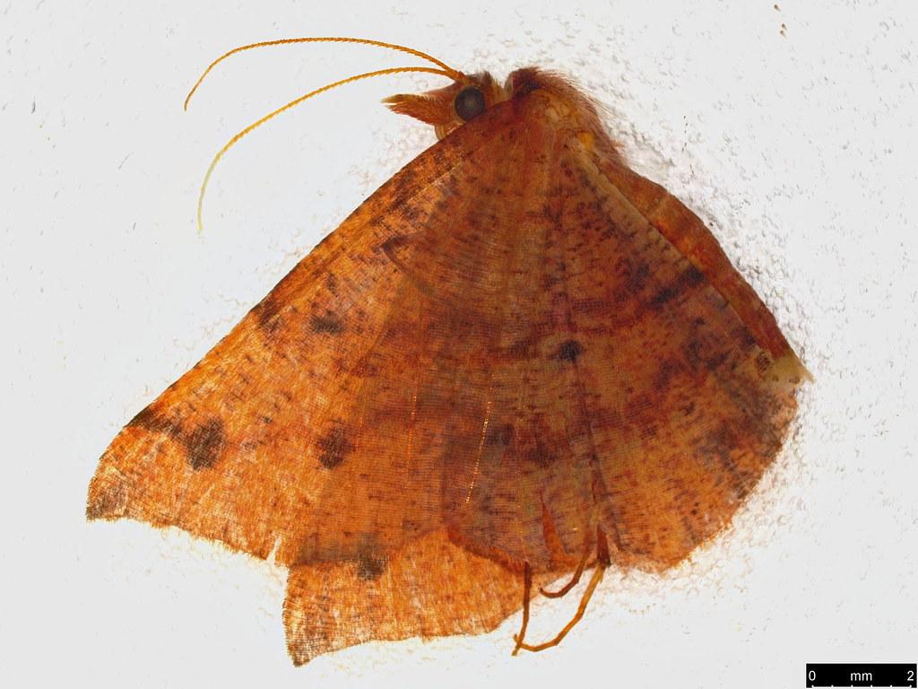17 - Rhinodia rostraria Guenée, 1857