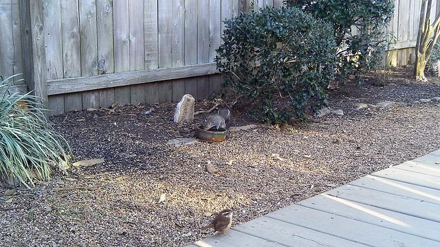 Carolina Wren... and a squirrel