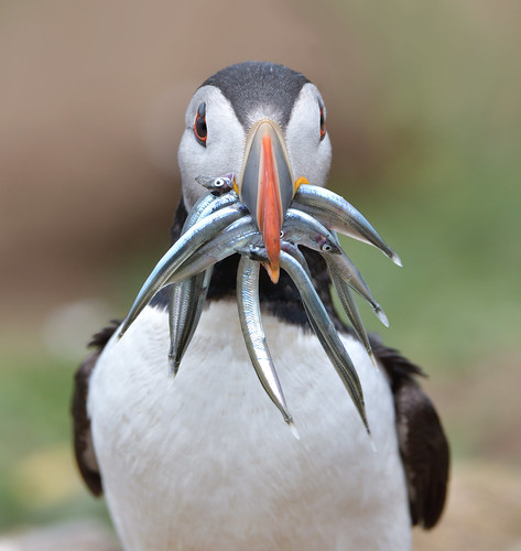 Puffin, with sand eels