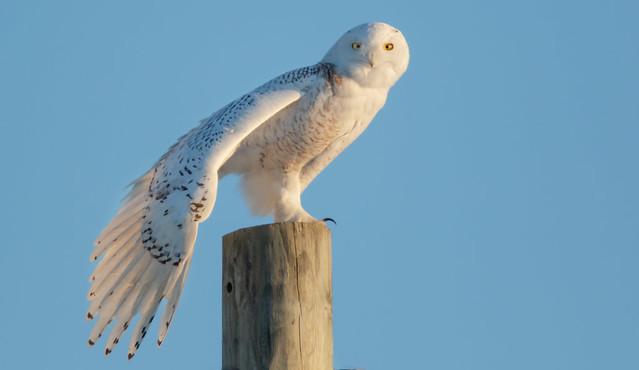 Female Snowy Owl.