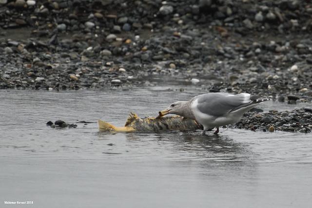 Gull Eating Salmon