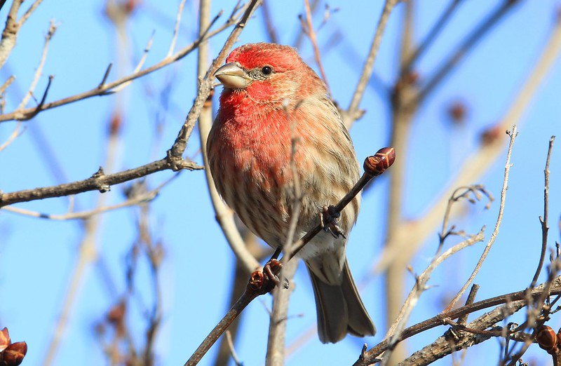 house finch male at Lake Meyer Park IA 653A7064