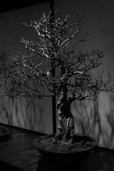 Bonsai_142996b