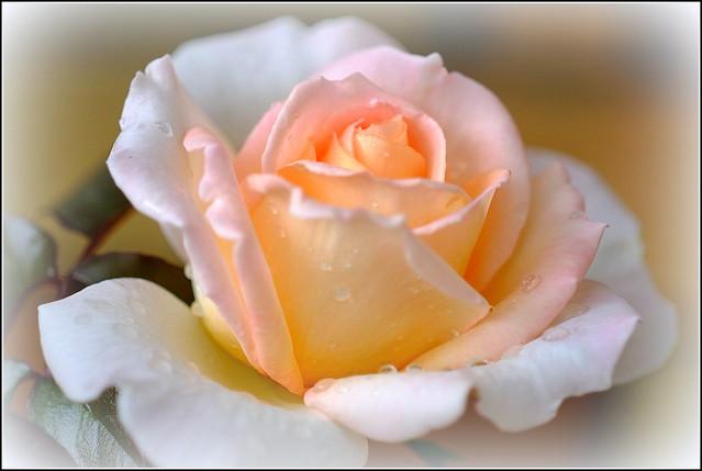 Rose: Hamilton Gardens.