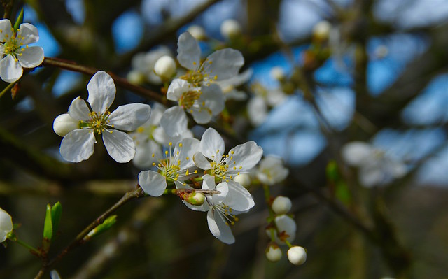 May blossom.....
