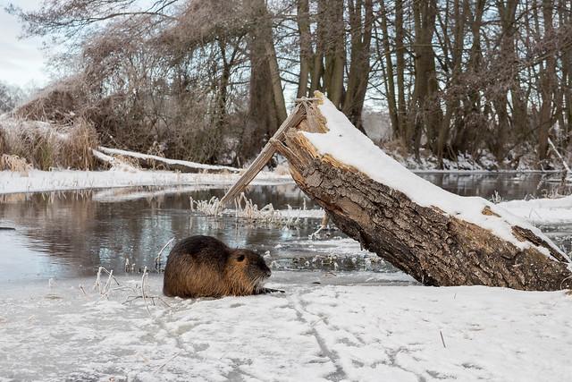 Winter world with Nutria