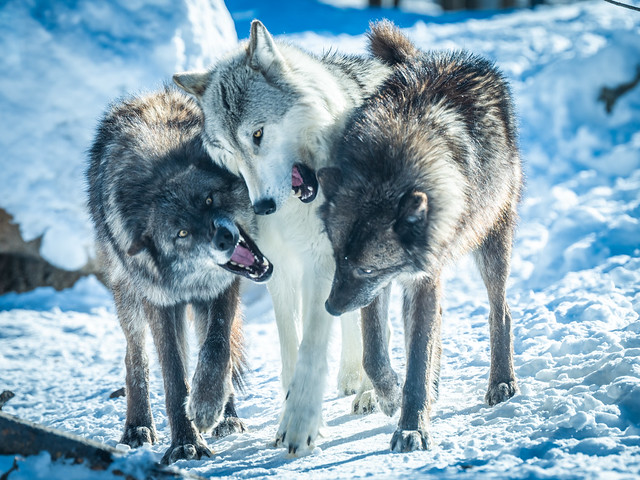 Three Wolves Play Fighting! Montana Wolves Grey Wolf Wolfpack Fuji GFX100 Montana Winter Fine Art Landscape Wildlife Photography! Elliot McGucken Fine Art! Fujifilm GFX 100 & Fujinon FUJIFILM GF 250mm f/4 R LM OIS WR Lens & GF 1.4X TC WR = 350mm!