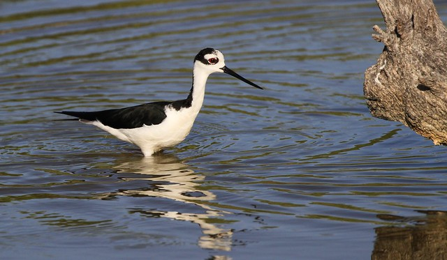 Black-necked Stilt / Échasse d'Amérique ( Diane )