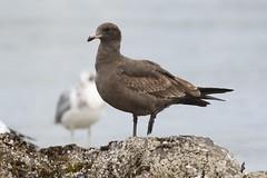 Heermann's Gull - Clover Point, Victoria BC