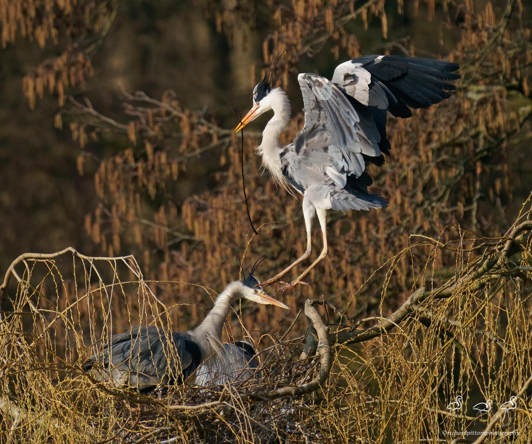 Grey Heron study