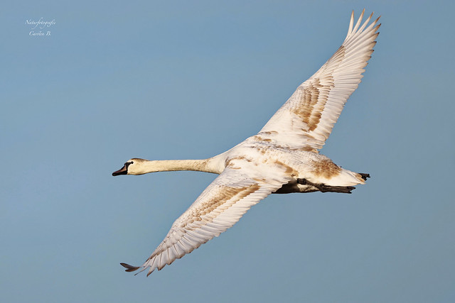 Höckerschwan mute swan (Cygnus_olor)